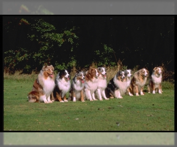 Image of Miniature Australian Shepherd Breed