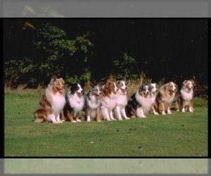 Image of breed Miniature Australian Shepherd