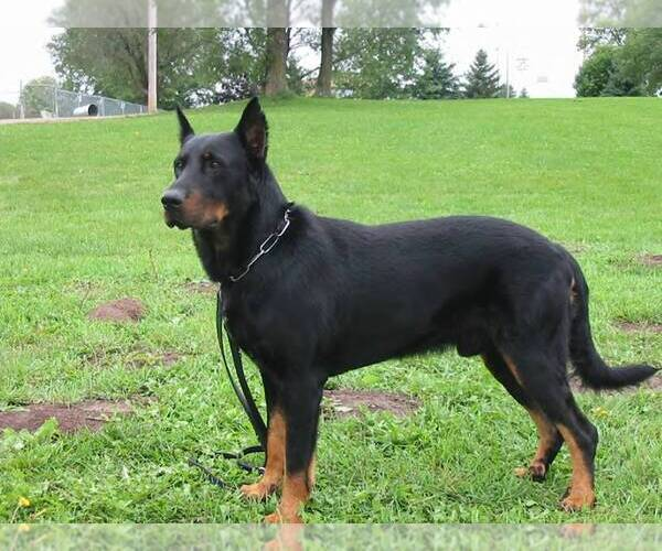 Full screen Photo #2 Beauceron Dog Breed