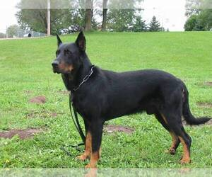 Small #1 Breed Beauceron image