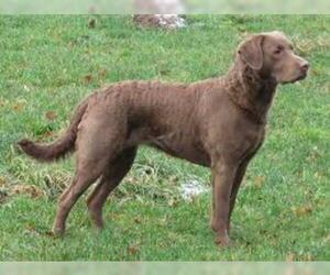 Small Photo #2 Chesapeake Bay Retriever Dog Breed