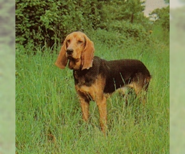 Image of Bruno Jura Hound Breed