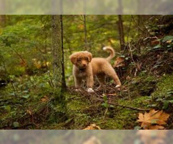Medium Photo #5 Nova Scotia Duck Tolling Retriever Dog Breed