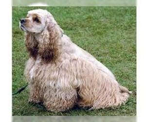 Small #6 Breed Cocker Spaniel image