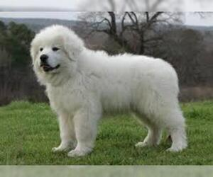 Small #3 Breed Great Pyrenees image