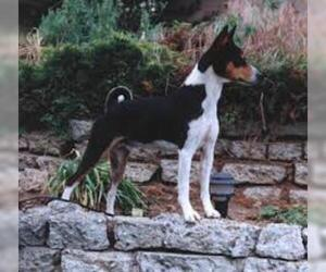 Small #4 Breed Basenji image