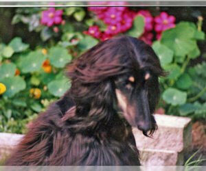 Small #12 Breed Afghan Hound image
