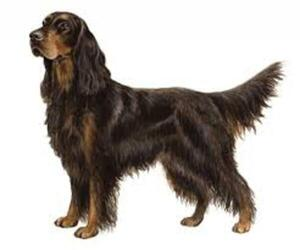 Small Photo #2 Gordon Setter Dog Breed