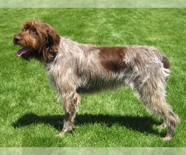Image of Wirehaired Pointing Griffon Breed