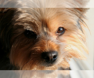 Small #3 Breed Chorkie image