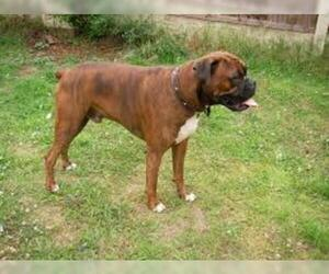 Small #4 Breed Boxer image