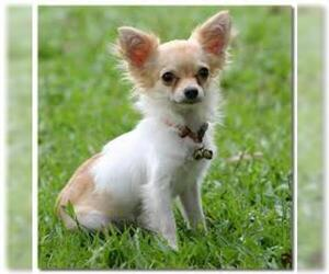 Small #6 Breed Chihuahua image