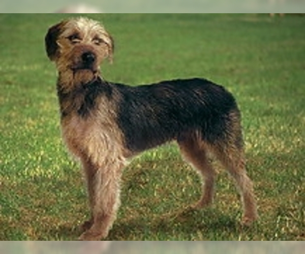 Image of Bosnian Rough-coated Hound Breed