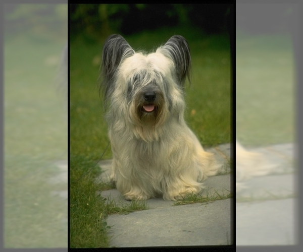 Image of Skye Terrier Breed
