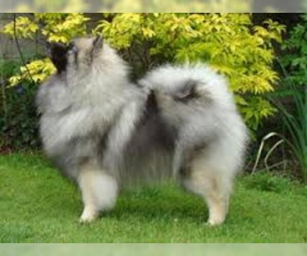 Medium Photo #4 Keeshond Dog Breed
