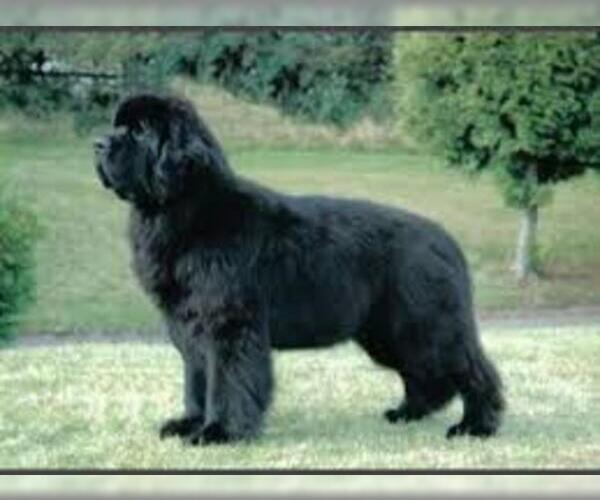 Medium Photo #2 Newfoundland Dog Breed