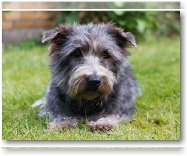 Image of Glen of Imaal Terrier Breed