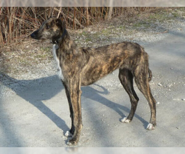 American Staghound Breed Information And Pictures On
