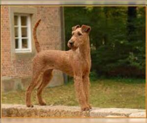 Small #7 Breed Irish Terrier image