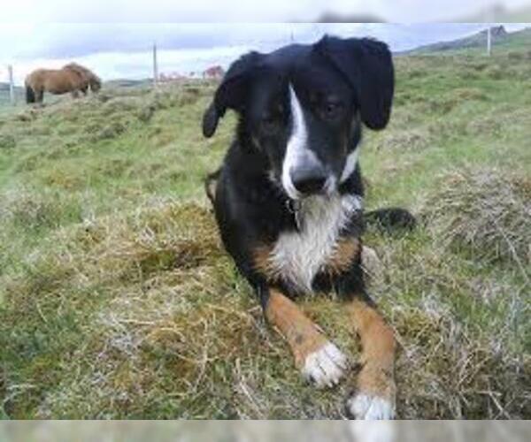 Medium Photo #2 Beacol Dog Breed