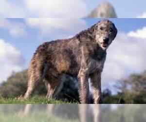 Small #4 Breed Irish Wolfhound image