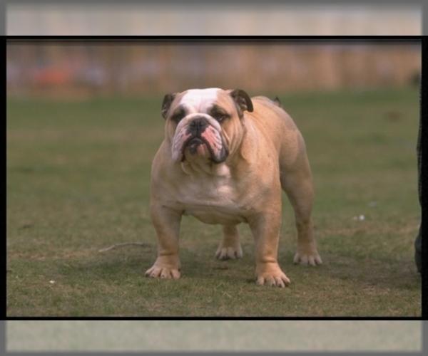 Image (Bulldog)