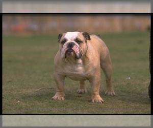 Image of Bulldog breed