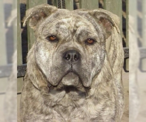 Image of Ca de Bou (Majorca Mastiff) breed