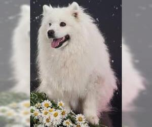 Small #3 Breed American Eskimo Dog image