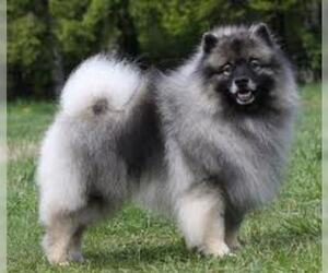Small #5 Breed Keeshond image