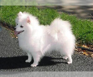 Samll image of American Eskimo Dog (Toy)
