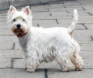 Small #7 Breed West Highland White Terrier image