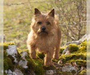 Small #6 Breed Norwich Terrier image