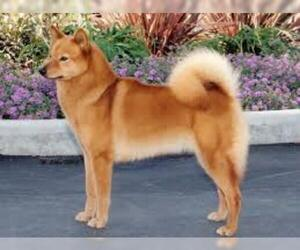 Small #3 Breed Finnish Spitz image