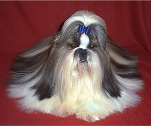 Image of Shih Tzu breed
