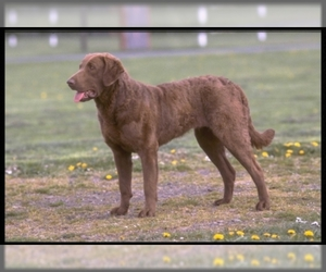 Samll image of Chesapeake Bay Retriever