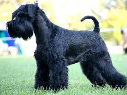 Medium Photo #2 Schnauzer (Standard) Dog Breed