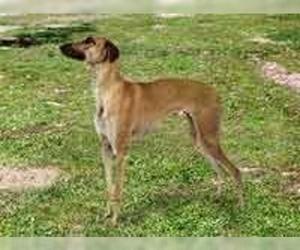 Small Photo #1 Banjara Greyhound Dog Breed