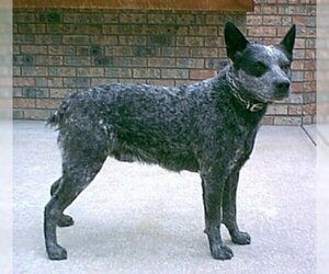 Image of Australian Stumpy Tail Cattle Dog breed