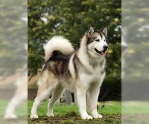 Small #3 Breed Alaskan Malamute image