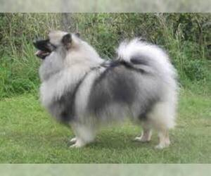 Small #2 Breed Keeshond image