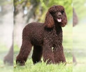 Small #2 Breed American Water Spaniel image
