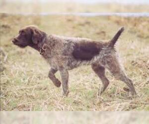 Small #6 Breed Wirehaired Pointing Griffon image