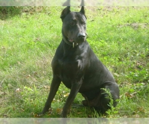 Image of Canis Panther breed