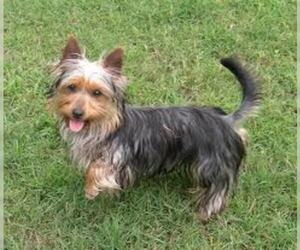 Small #5 Breed Silky Terrier image