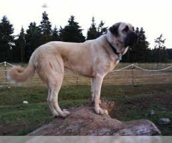 Medium Photo #6 Anatolian Shepherd Dog Breed