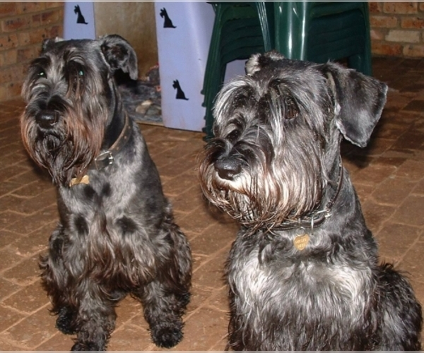 Schnoodle Standard Breed Information And Pictures On