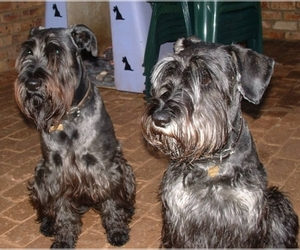 Image of breed Schnauzer (Standard)
