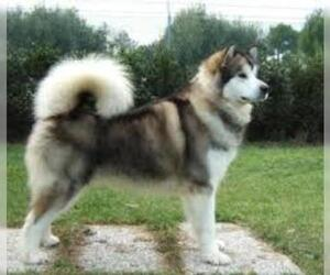 Small #5 Breed Alaskan Malamute image