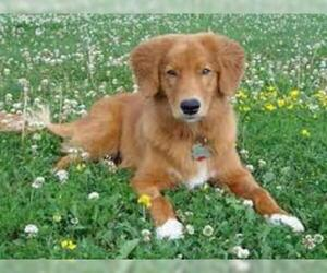 Small #5 Breed Nova Scotia Duck Tolling Retriever image